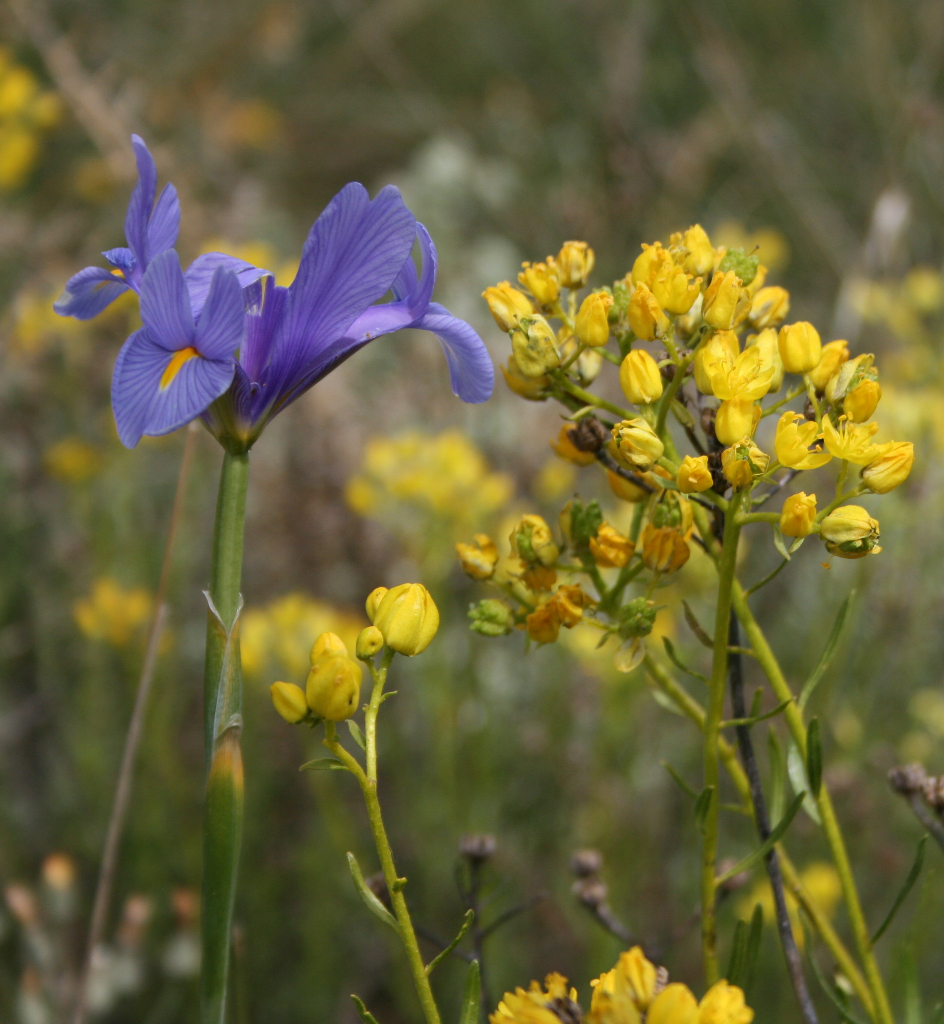 Wild Iris found around Pinos del Valle