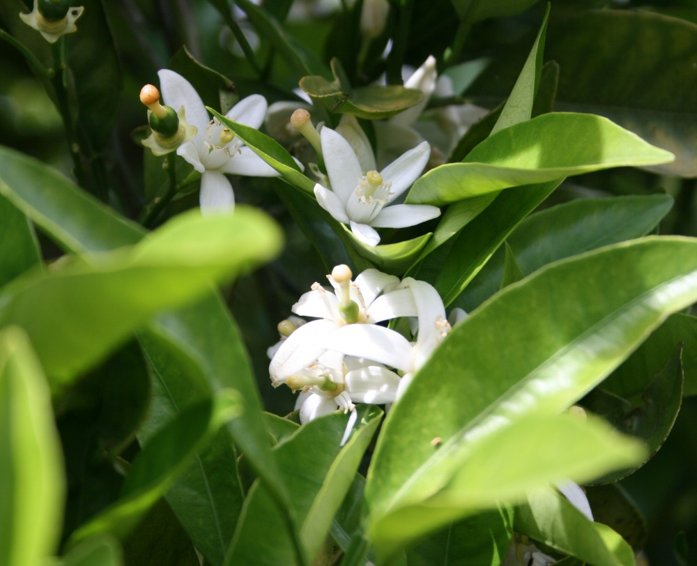 Orange Blossom of the Lecrin Valley